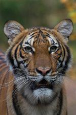 Una tigresa de un zoológico contrajo coronavirus y otros cinco felinos se contagiaron