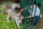 VIDEO | Zoológico de Nicaragua acoge a dos tigres blancos
