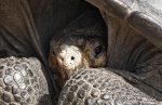 VIDEO: liberan 155 crías de tortuga en Galápagos