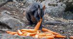 Lanzan comida a animales afectados por incendios en Australia