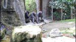 VIDEO: chimpancés usan tronco como escalera para escapar de su encierro en un zoológico