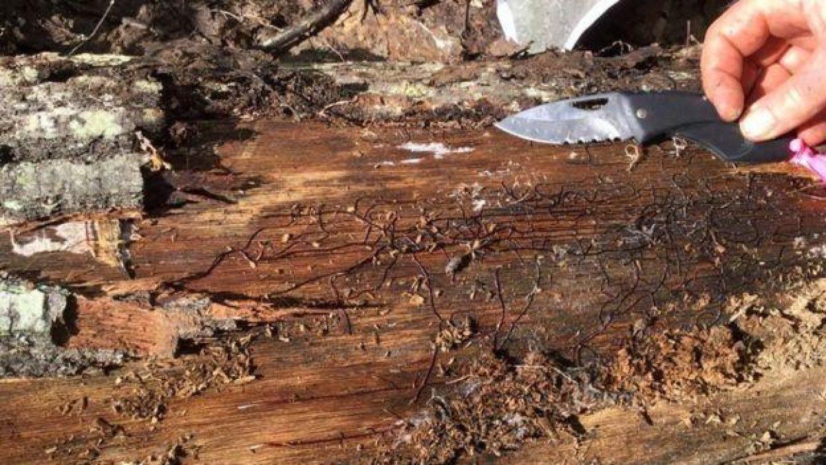 El hongo crece usando como fuente de energía madera en descomposición. Va expandiendo sus redes de filamentos oscuros llamados rizomorfos en busca de raíces de árboles a las cuales se fija. (Foto: James Anderson)