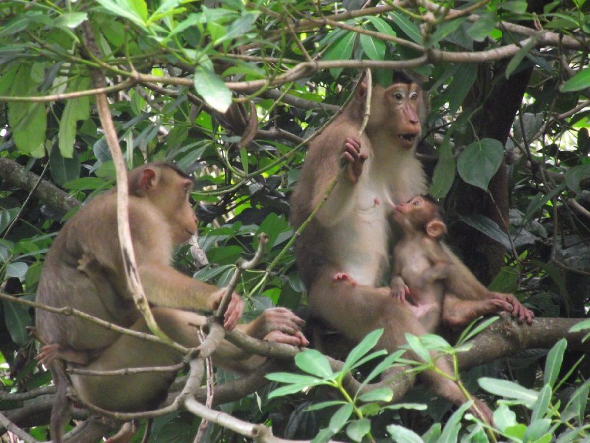Los macacos de Malasia tienen una dieta basada en fruta y, ocasionalmente, cazaban lagartijas y pájaros.