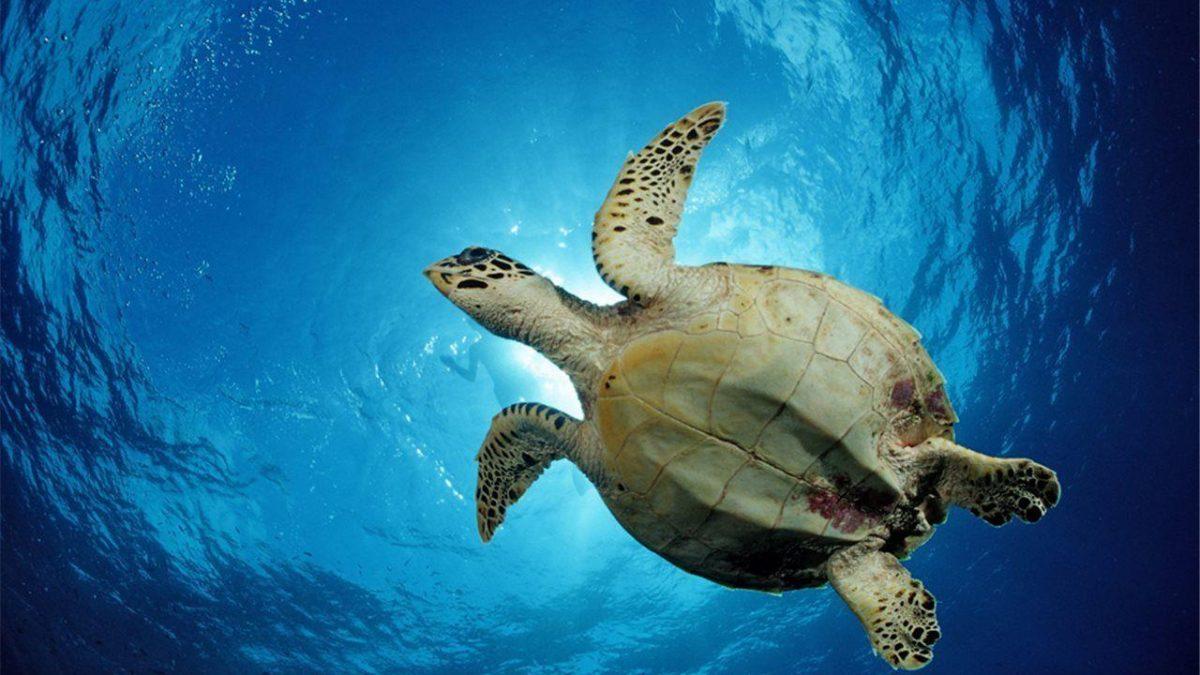 Los descensos y las extinciones de poblaciones de tortugas a escala global significan que sus funciones ecológicas se ven ahora enormemente reducidas