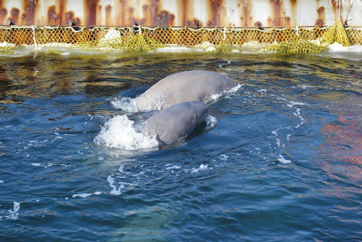 Varias ballenas beluga que se encuentran en la región de Primorie, en el Lejano Oriente Ruso (EFE - GREENPEACE).